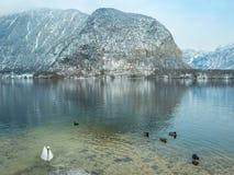 Abbellisca il cigno del lago, l'uccello Hallstatt dell'anatra in montagna della neve di stagione invernale dell'Austria Fotografie Stock Libere da Diritti