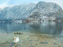 Abbellisca il cigno del lago, l'uccello Hallstatt dell'anatra in montagna della neve di stagione invernale dell'Austria Immagini Stock Libere da Diritti