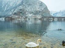 Abbellisca il cigno del lago, l'uccello Hallstatt dell'anatra in montagna della neve di stagione invernale dell'Austria Immagine Stock Libera da Diritti