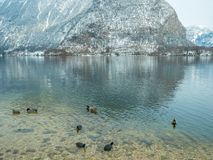 Abbellisca il cigno del lago, l'uccello Hallstatt dell'anatra in montagna della neve di stagione invernale dell'Austria Fotografia Stock Libera da Diritti