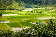 Abbellisca il dettaglio dei giacimenti verdi del taro in valle di Hanalei, Kauai Fotografie Stock Libere da Diritti