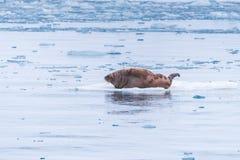 Abbellisca il tricheco della natura su una banchisa del giorno artico del sole dell'inverno di Spitsbergen Longyearbyen le Svalba fotografie stock libere da diritti