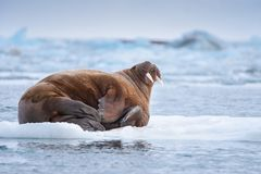 Abbellisca il tricheco della natura su una banchisa del giorno artico del sole dell'inverno di Spitsbergen Longyearbyen le Svalba fotografia stock libera da diritti