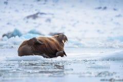 Abbellisca il tricheco della natura su una banchisa del giorno artico del sole dell'inverno di Spitsbergen Longyearbyen le Svalba immagine stock libera da diritti