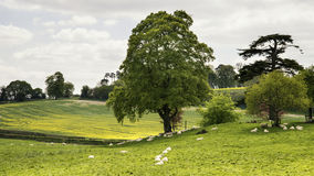 Abbellisca l'immagine delle pecore che pascono accanto al giacimento i del canola del seme di ravizzone Immagine Stock