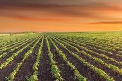Abbellisca la foto del prato della soia al bello tramonto Fotografie Stock
