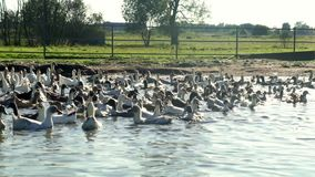 Abbellisca lo stormo delle anatre e delle oche che galleggiano nello stagno nell'azienda agricola dell'uccello stock footage
