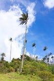 Abbellisca nella valle di Cocora con la palma da cera, fra il mounta fotografie stock
