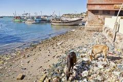 Dinning santo della spiaggia della mucca disponibile in India fotografia stock libera da diritti