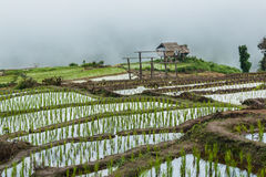 Abbellisca, terrazzi del riso di PA Pong Piang della Tailandia Immagine Stock Libera da Diritti