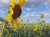 Abbellisca in un campo agricolo con i girasoli gialli Fotografia Stock