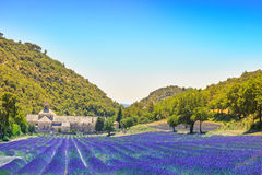 Abbey of Senanque blooming lavender flowers. Gordes, Luberon, Pr Stock Photos