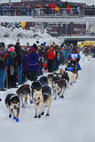 Abbie West begins the Yukon Quest. Abbie West, the first musher to leave the Yukon Quest start line, charges forward into 1000 miles of wilderness between her a Stock Photo