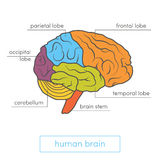 Abbildung des menschlichen Gehirns stock abbildung