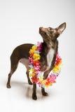 Abbildung eines lustigen neugierigen Spielzeugterrierhundes Lizenzfreies Stockbild