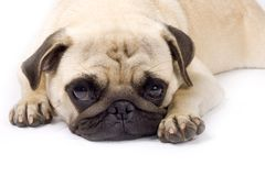 Abbildung eines schläfrigen Pug auf einem weißen Hintergrund Stockfotografie