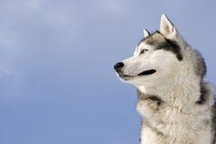 Abbildung eines sibirischen Schlittenhunds Stockfotos