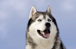 Abbildung eines sibirischen Schlittenhunds Stockfoto