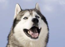 Abbildung eines sibirischen Schlittenhunds Lizenzfreies Stockbild