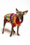 Abbildung eines Spielzeugterrierhundes im Hund kleidet Stockbild