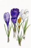 Abbildung-Krokus-Blumen lizenzfreie abbildung