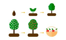 Abbildung Wachstumsstadien von Apfelbäumen Rote Äpfel B stockbilder