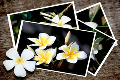 Abbildungen der Frangipaniblumen Stockbilder