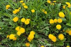 Abbondanza dei fiori gialli dei denti di leone in primavera Immagine Stock