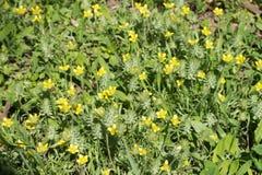 Abbondanza dei fiori gialli del testiculata di ceratocephala Fotografie Stock Libere da Diritti