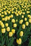 Abbondanza dei fiori gialli dei tulipani Fotografia Stock Libera da Diritti