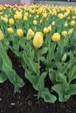 Abbondanza dei tulipani gialli e rosa di fioritura Fotografie Stock