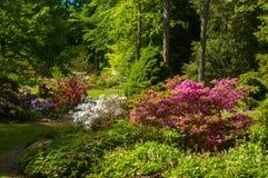 Abbondanza del rododendro Fotografia Stock Libera da Diritti