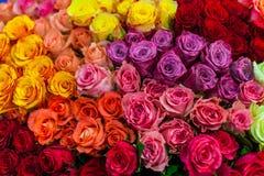 Abbondanza delle rose variopinte Immagine Stock
