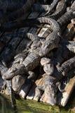 Abbondi degli alligatori Immagini Stock Libere da Diritti