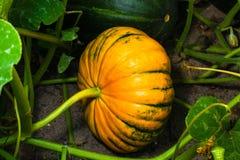Abóbora madura fresca Fotografia de Stock Royalty Free