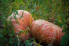 Abóboras no campo (1) Imagem de Stock Royalty Free
