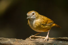 Abbott's Babbler Royalty Free Stock Image