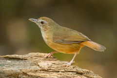 Abbott's Babbler Royalty Free Stock Photography