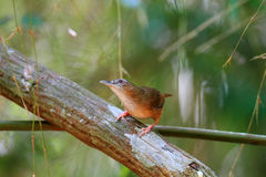 Abbott's Babbler Royalty Free Stock Photo