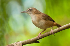 Abbott's Babbler. Taken from Venus Drive Park of Singapore Royalty Free Stock Photos
