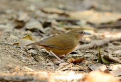 Abbott's Babbler (Trichastoma abbotti) Stock Photo