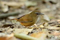 Abbott's Babbler (Trichastoma abbotti) Stock Photography