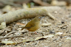 Abbott's Babbler (Trichastoma abbotti) Royalty Free Stock Images