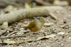 Abbott's Babbler (Trichastoma abbotti) Royalty Free Stock Photos