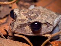 Abbotti de Leptobrachium de la rana de la litera de la tierra baja Fotos de archivo libres de regalías