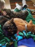 Abbracci del gatto Fotografia Stock