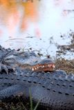 Abbracci dell'alligatore Fotografie Stock Libere da Diritti