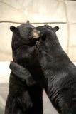 Abbracciare degli orsi neri Fotografia Stock