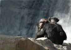Abbracciare degli scimpanzè Fotografia Stock