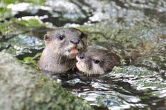 Abbracciare delle lontre Immagini Stock